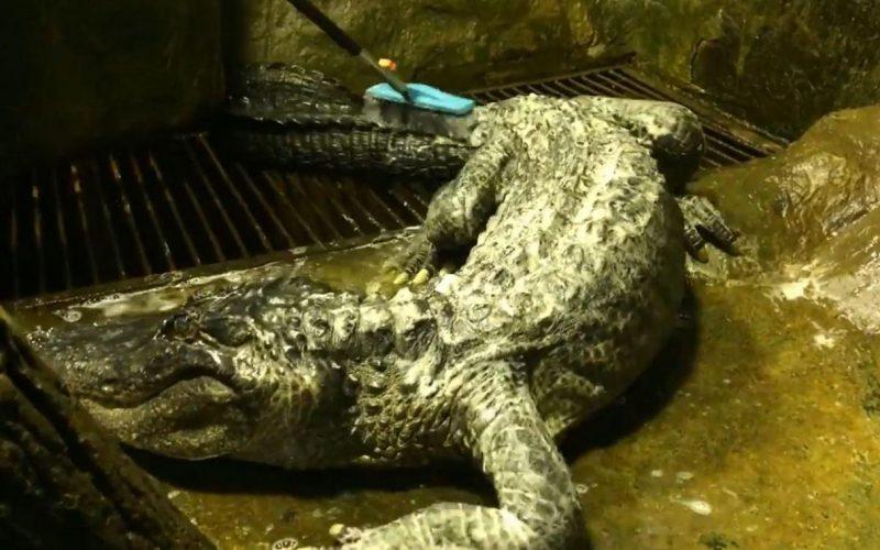 L'alligator d'Hitler est mort à l'âge de 84 à Moscou