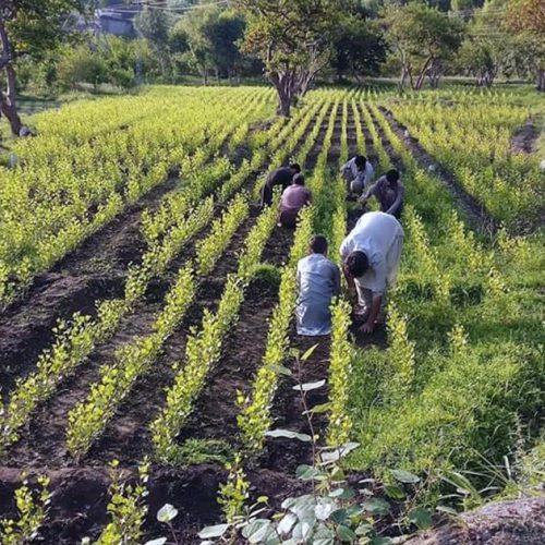 Pakistan : 63000 chômeurs embauchés pour planter 10 milliards d'arbres