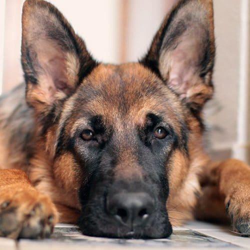 Joe Biden : le premier chien issu d'un refuge arrive à la Maison-Blanche !