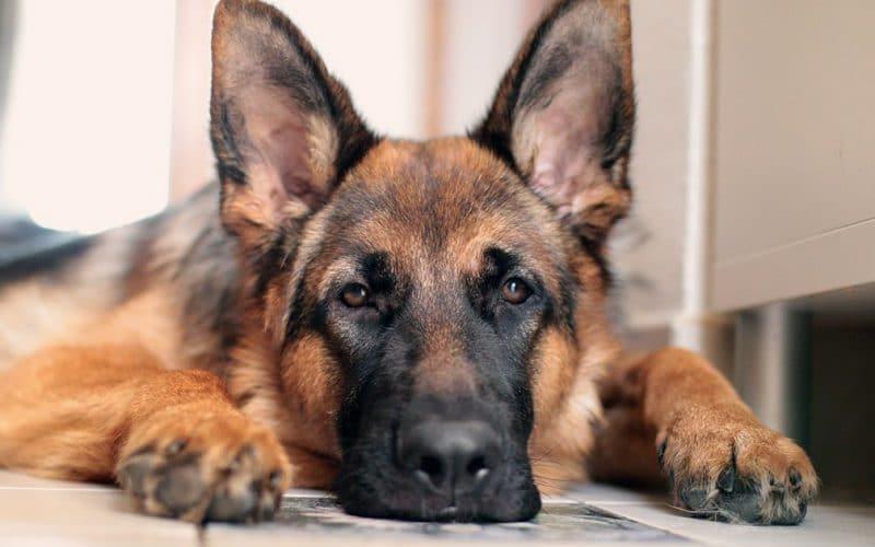 Le premier chien issu d'un refuge arrive avec les Biden