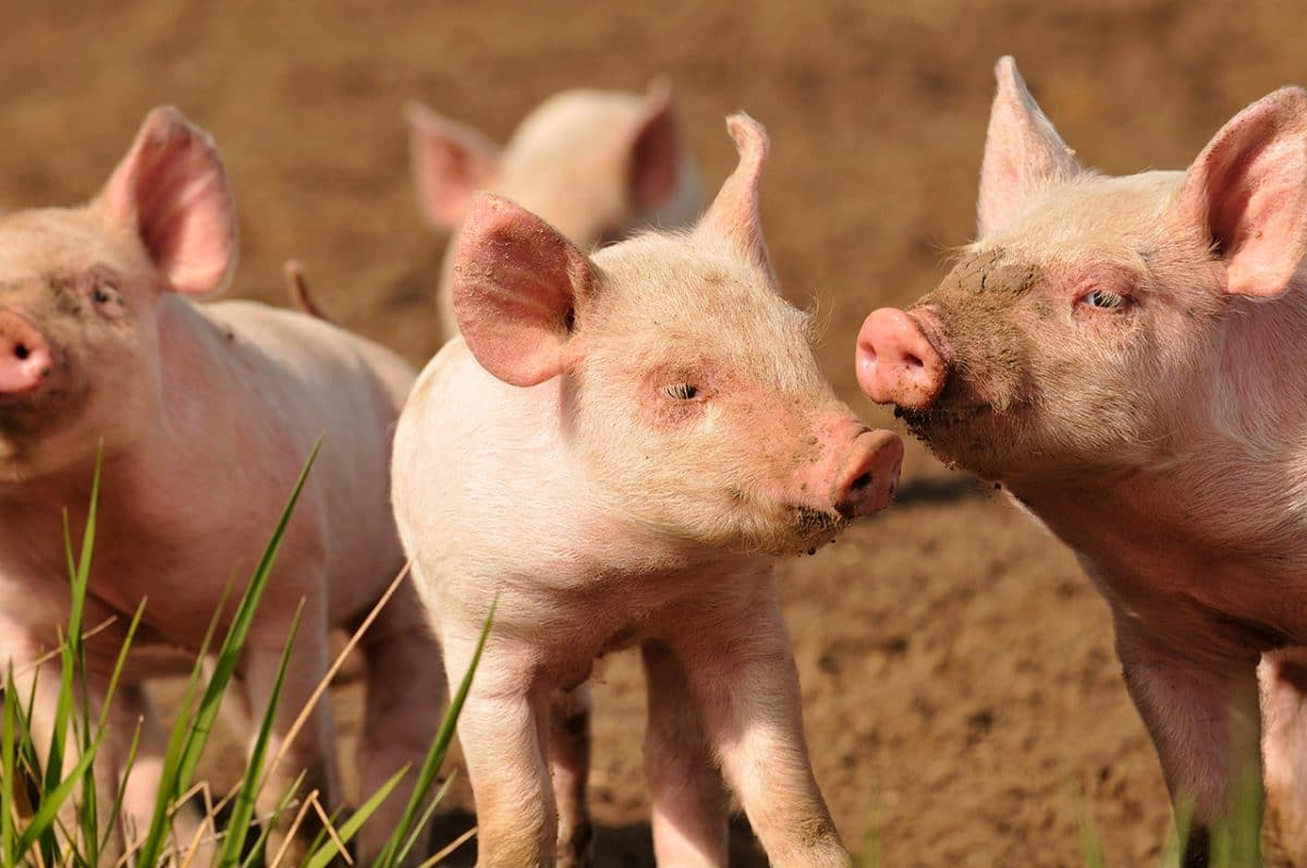 cas-de-grippe-porcine-france-bretagne