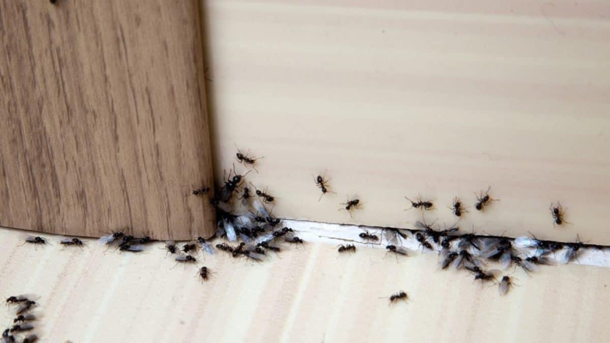 extermination-fourmi-maison-astuces